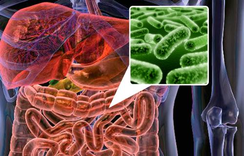 Descubren un mecanismo inmunológico que regula la flora intestinal